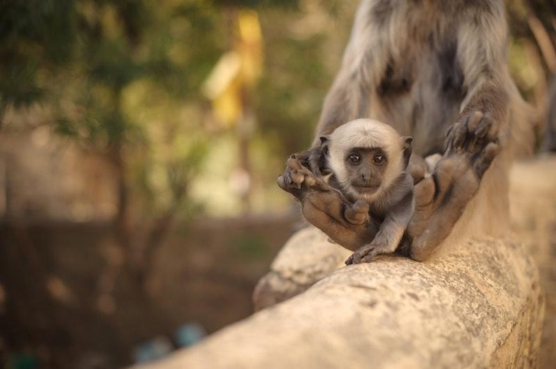 little monkey, India